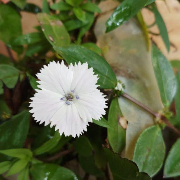 Dianthus Barbatus: Sweet william