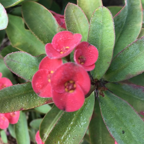 Euphorbia Milii: Crown of thorns