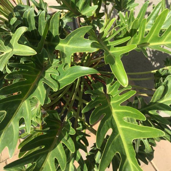 Thaumatophyllum Xanadu