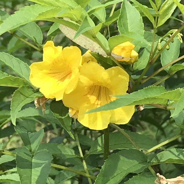 Tecoma Stans: Yellow trumpetbush