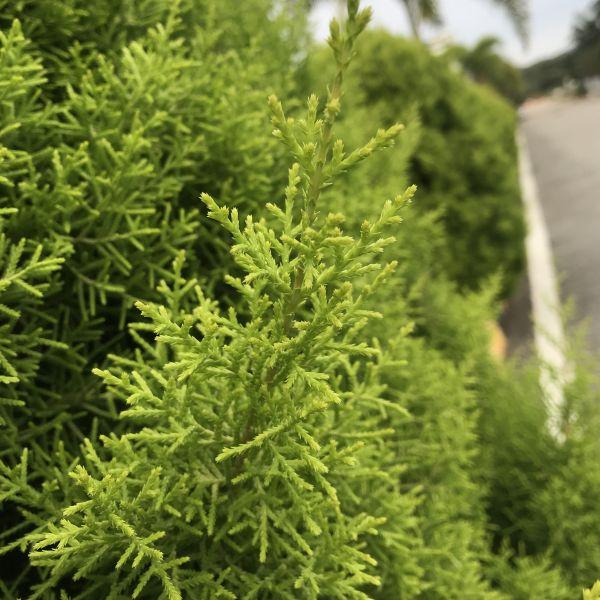 Cupressus Macrocarpa: Lemon Cypress