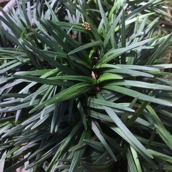 Ophiopogon japonicus: Dwarf lilyturf