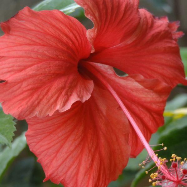 Hibiscus rosa-sinensis: Chinese Hibiscus