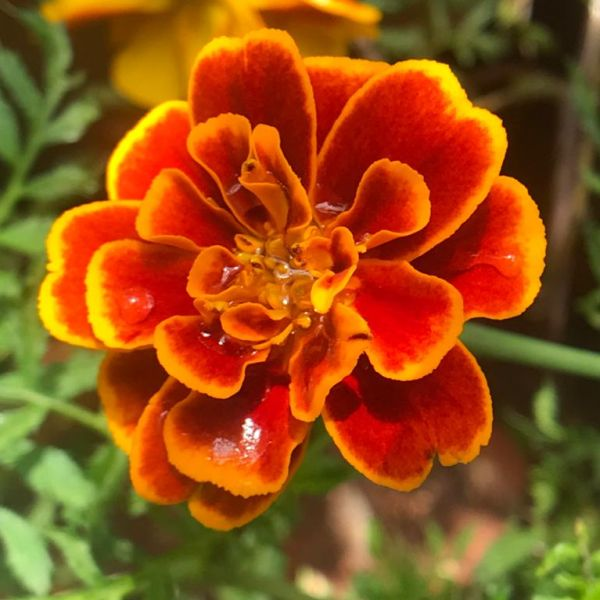 Tagetes: Marigolds