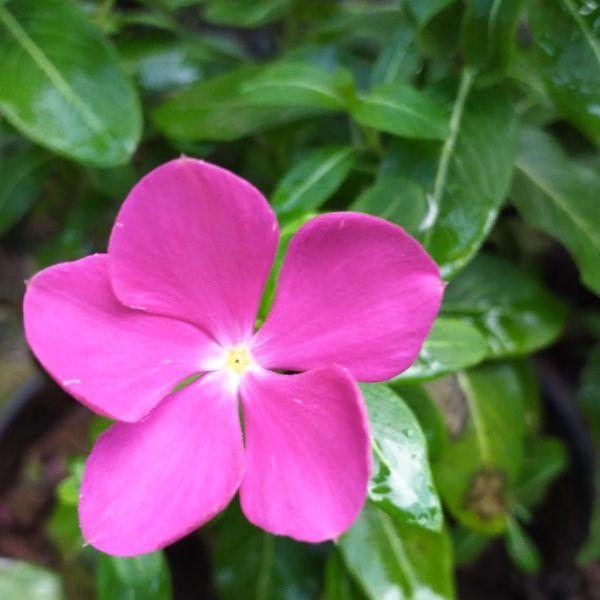 Catharanthus Roseus - Vinca Rosea