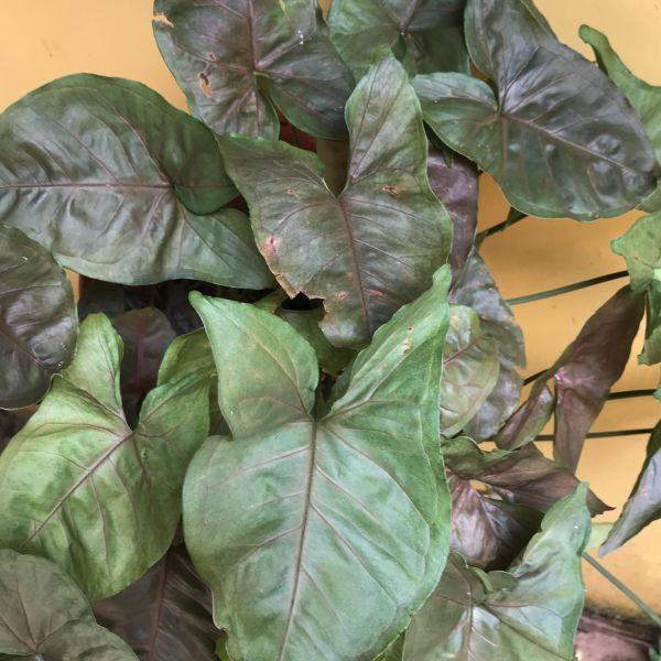 Syngonium podophyllum: Arrowhead plant