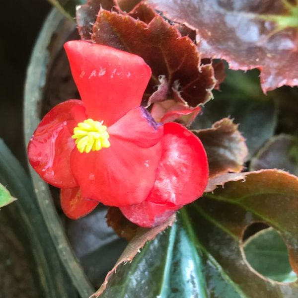 Begonia semperflorens: Wax begonia