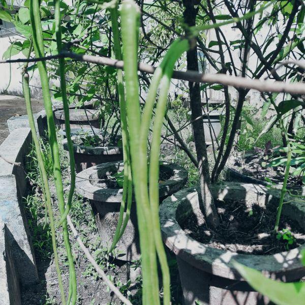Vigna unguiculata: Cowpeas