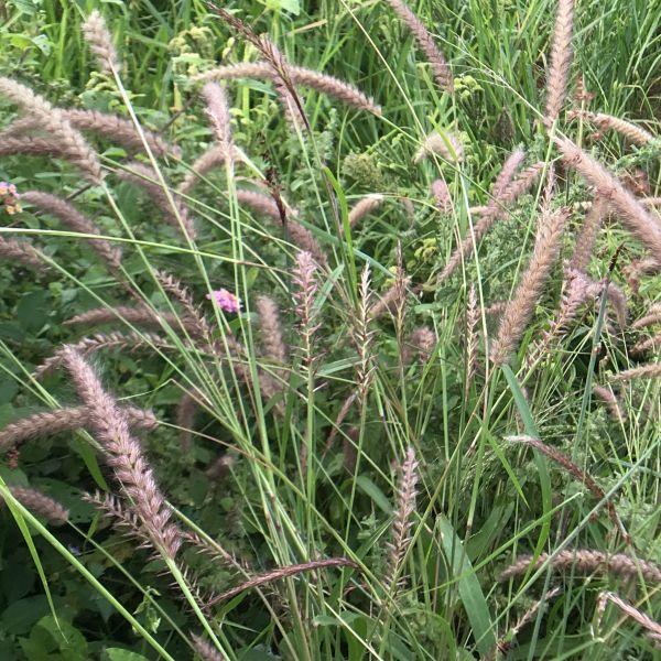 Pennisetum: Fountain grass, Cenchrus