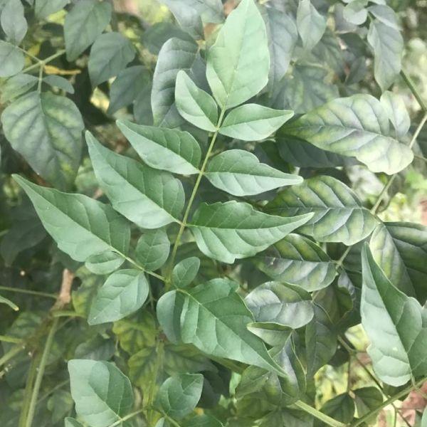 Millingtonia hortensis: Tree jasmine