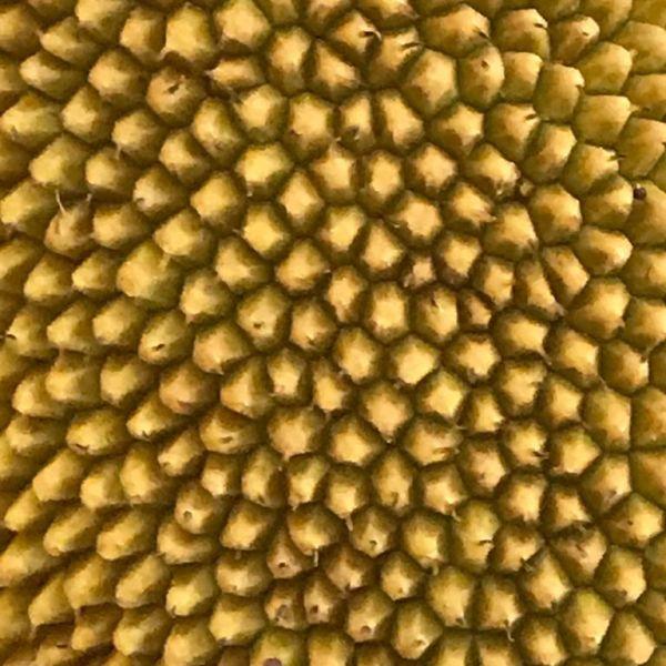 Artocarpus heterophyllus: Jackfruit tree