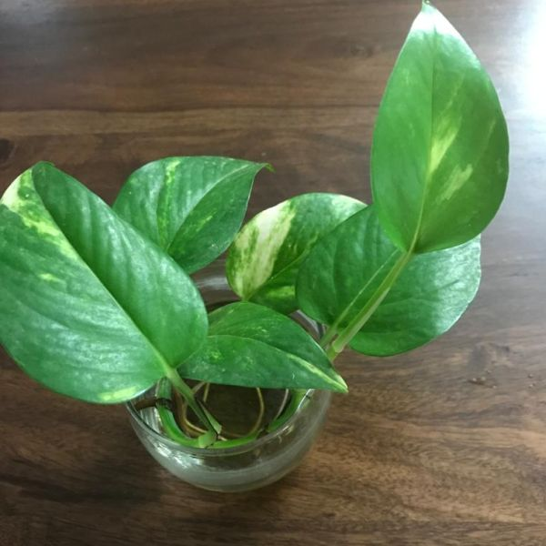 Epipremnum aureum: Money Plant