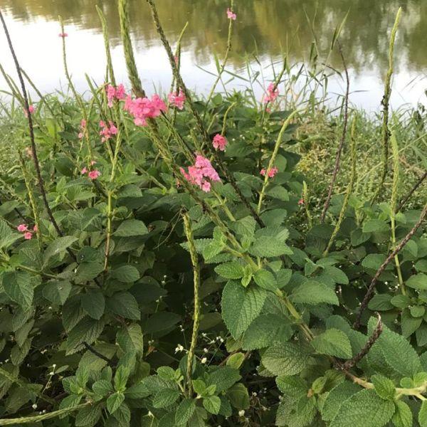 Stachytarpheta mutabilis: Pink snakeweed