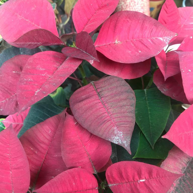 Euphorbia pulcherrima: Poinsettia