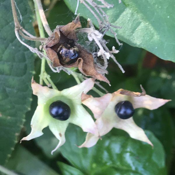 Clerodendrum infortunatum: Hill glory bower