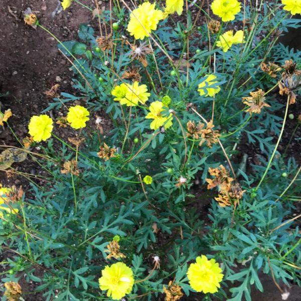 Cosmos sulphureus: Yellow cosmos