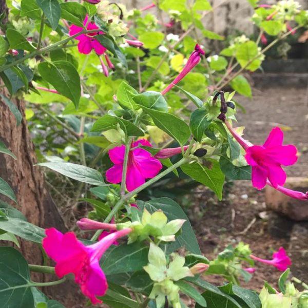 Mirabilis jalapa: Four o'clock flower