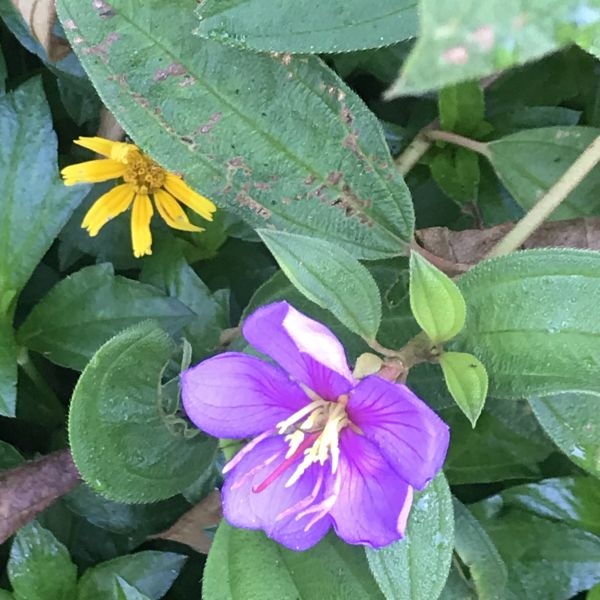 Tibouchina urvilleana: Princess flower