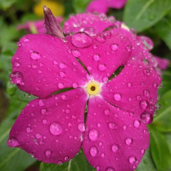 Catharanthus roseus: Vinca rosea