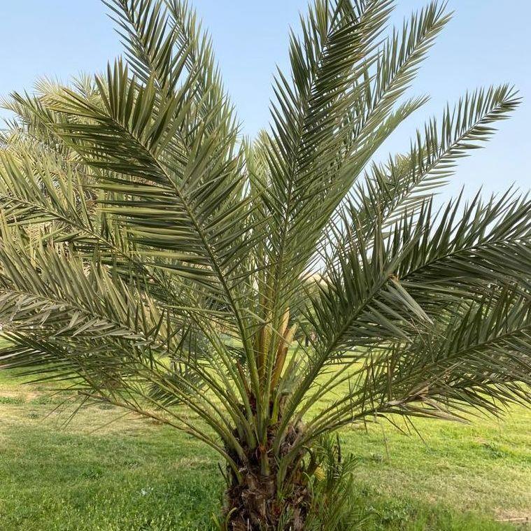 Phoenix dactylifera: Date palm