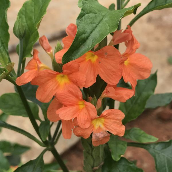 Crossandra infundibuliformis: Firecracker plant