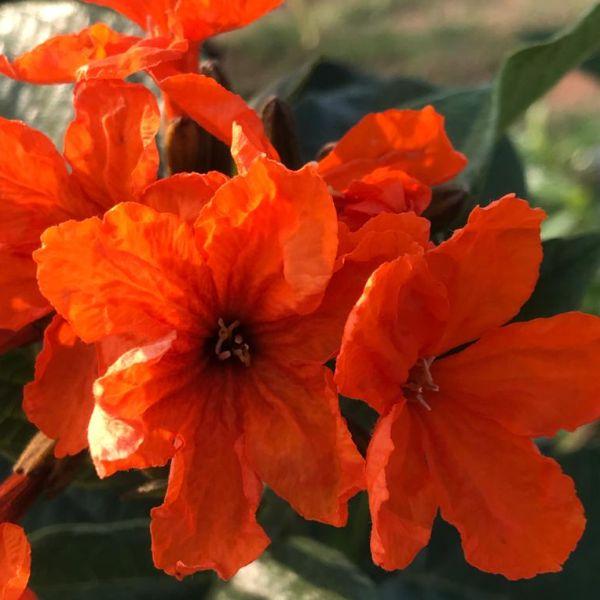 Cordia sebestena: Geiger tree