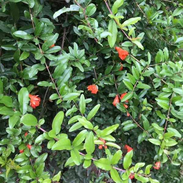 Punica granatum: Pomegranate