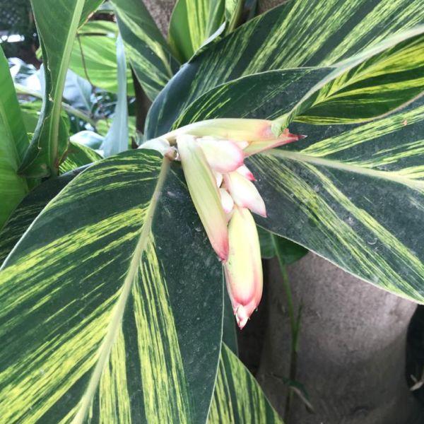 Alpinia zerumbet: Shell ginger