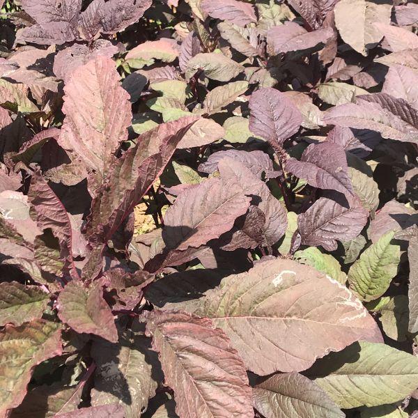 Amaranthus dubius: Red spinach