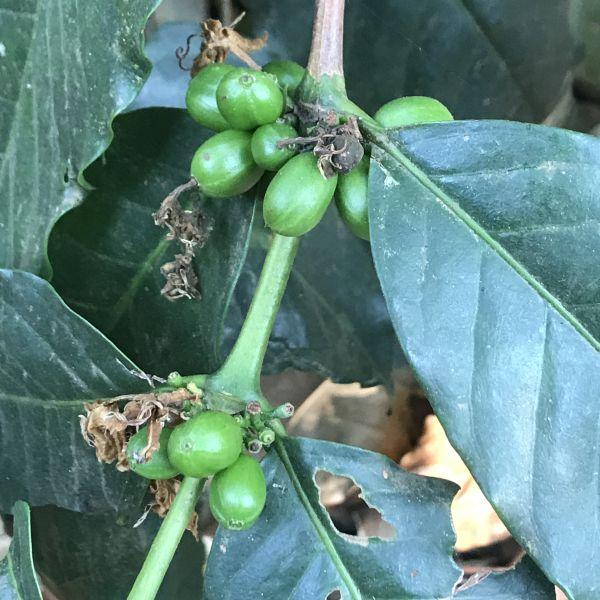 Coffea: Coffee fruits