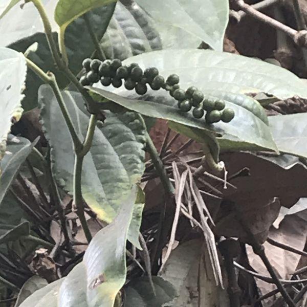 Piper nigrum: Black pepper