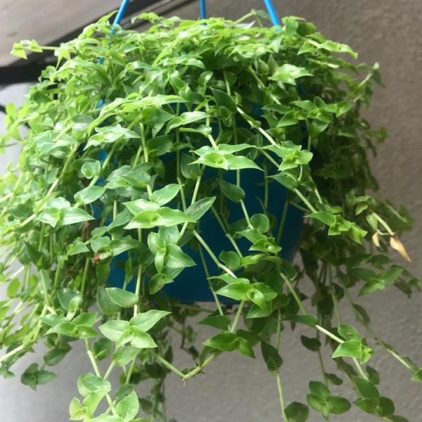 Tradescantia fluminensis: Small leaf spiderwort