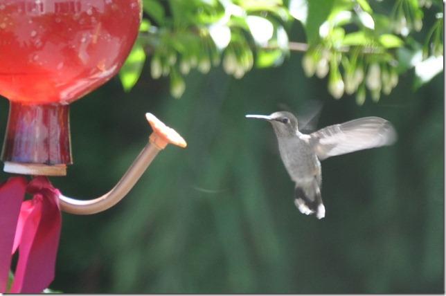 Hummingbird 010