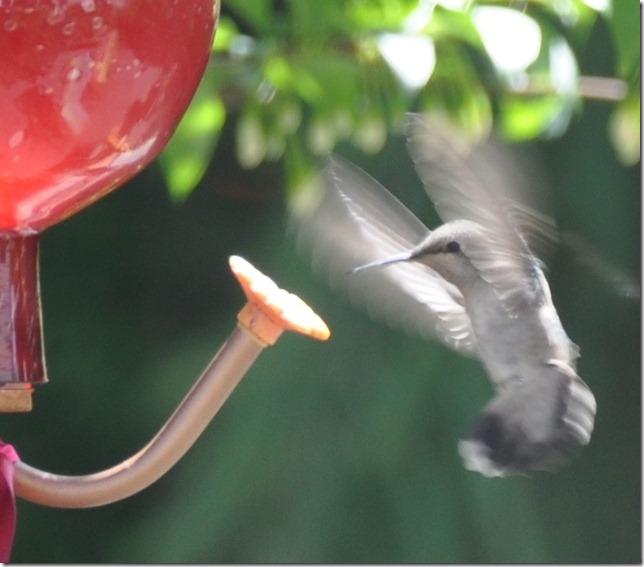 Hummingbird 011