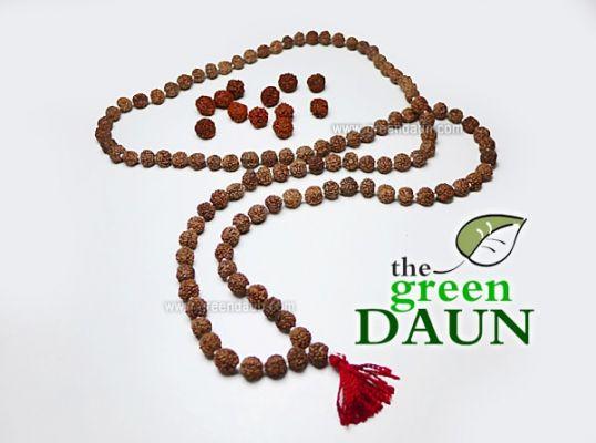 Where to Buy Rudraksha Seeds in Malaysia - Green Daun