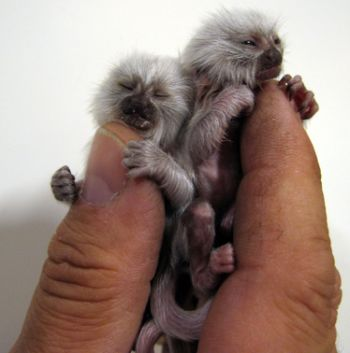 albino pygmy monkey twins born