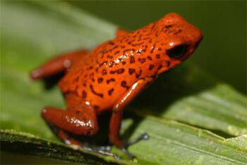 amphibians are endangered