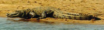 bitrakania crocodile