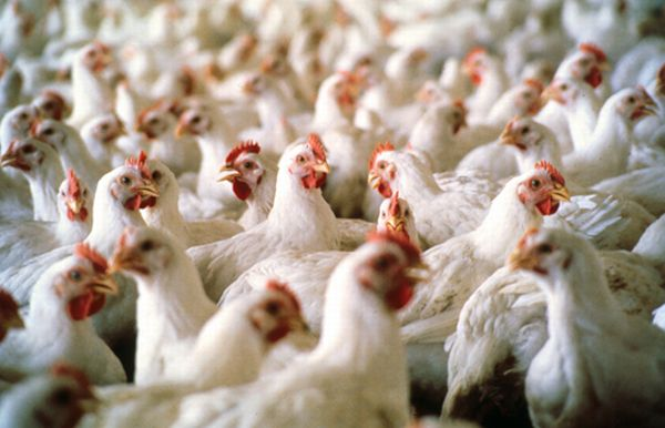 chicken feathers could lead to greener plastics