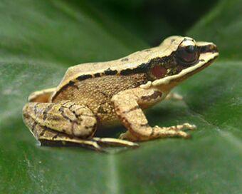 croaker frogs
