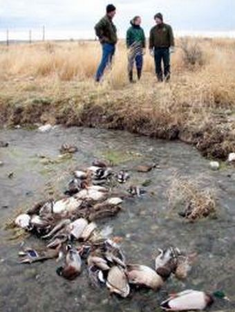 dead mallard ducks in idaho 9