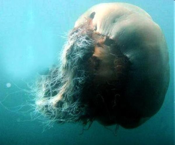 Jellyfish living large