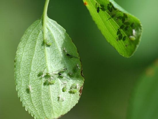 natural pesticide soybean aphid