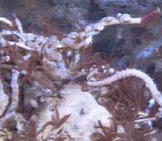 paralvinella sulfincola