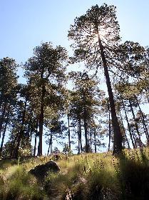 pine and fiforests of tarahumara mountains