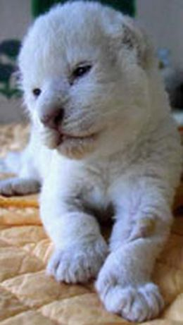 royal white bengal tigecub