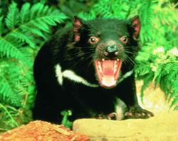 tasmanian devils5