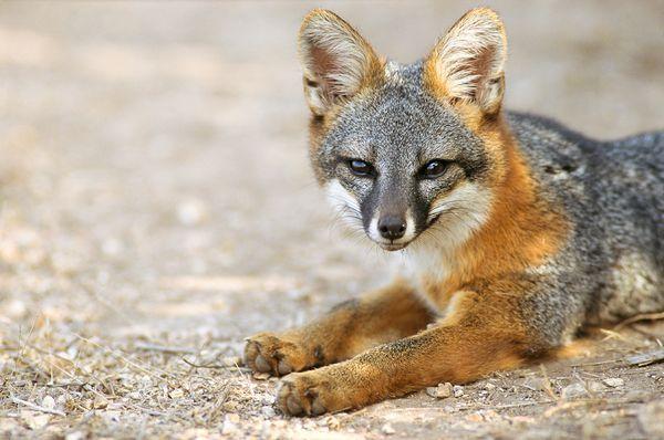 The Island Gray Fox