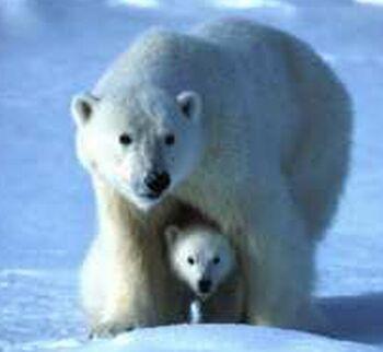 to polar bear extinction