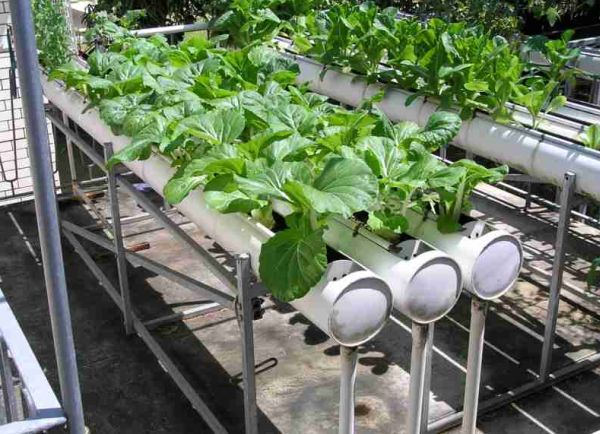 Ugly side of hydroponics